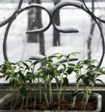 Piantine del pomodoro sul davanzale Fotografie Stock