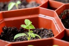 Piantine del pomodoro in un vaso di una volta marrone per le piantine Fotografia Stock