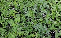 Piantine del pomodoro in vasi della torba Il bambino pianta la semina, vassoi del buco nero per le piantine agricole La piantatur immagini stock libere da diritti