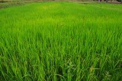 Piantine del riso Immagini Stock Libere da Diritti