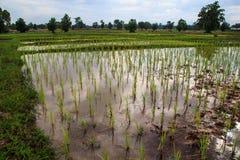 Piantine del riso Fotografia Stock Libera da Diritti