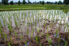 Piantine del riso Fotografie Stock Libere da Diritti