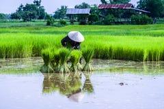 Piantine del riso Fotografia Stock