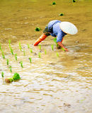 Piantine del riso del trapianto Fotografie Stock Libere da Diritti