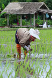 Piantine del riso del trapianto Fotografia Stock Libera da Diritti