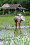 Piantine del riso del trapianto Immagine Stock Libera da Diritti