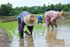 Piantine del riso del trapianto Immagini Stock Libere da Diritti