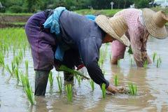 Piantine del riso del trapianto Fotografia Stock