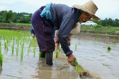 Piantine del riso del trapianto Immagini Stock