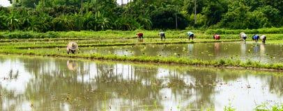 Piantine del riso del trapianto dell'agricoltore sul campo in rurale Fotografia Stock