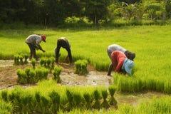 Piantine del riso della preparazione dell'agricoltore per piantare Immagine Stock