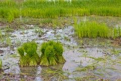 Piantine del riso della preparazione di agricoltura del riso Fotografie Stock