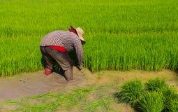 Piantine del riso di ritiro Fotografia Stock