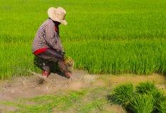 Piantine del riso di ritiro Fotografia Stock Libera da Diritti