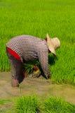 Piantine del riso di ritiro Immagine Stock