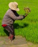 Piantine del riso di ritiro Immagini Stock Libere da Diritti