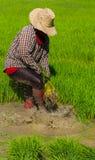Piantine del riso di ritiro Fotografie Stock