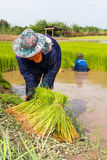 Piantine del riso di taglio dell'agricoltore Immagine Stock Libera da Diritti