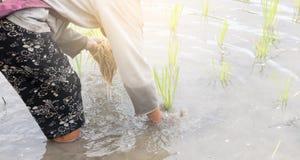 Piantine del riso del trapianto dell'agricoltore Fotografia Stock