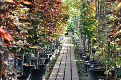 Piantine dell'acero in contenitori ad una vendita del giardino Alberi per la piantatura nella terra immagini stock