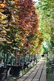Piantine dell'acero in contenitori ad una vendita del giardino Alberi per la piantatura nella terra fotografie stock libere da diritti