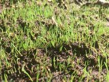 Piantine dell'erba che emergono dalla terra immagini stock libere da diritti