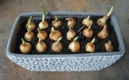 Piantine della cipolla di inverno da svilupparsi a casa Immagini Stock