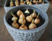 Piantine della cipolla di inverno da svilupparsi a casa Immagini Stock Libere da Diritti