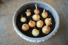 Piantine della cipolla di inverno da svilupparsi a casa Fotografia Stock