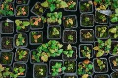 Piantine della fragola in scatole di plastica, vista superiore, in serra idroponica moderna per coltivazione dei fiori e delle pi Fotografie Stock