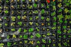 Piantine della fragola in scatole di plastica, vista superiore, in serra moderna per i fiori di coltivazione e le piante ornament Fotografia Stock