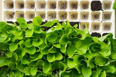 Piantine della lattuga in una scatola prima della piantatura nel giardino, comprato sul mercato immagine stock