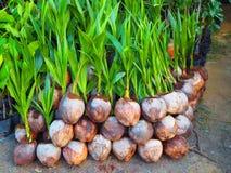 Piantine della noce di cocco fotografia stock