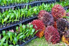 Piantine della palma da olio Immagine Stock Libera da Diritti