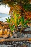 Piantine della palma del bambino Fotografia Stock Libera da Diritti