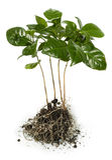 Piantine della pianta del caffè Immagini Stock Libere da Diritti