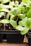 Piantine della pianta del cetriolo Immagine Stock Libera da Diritti