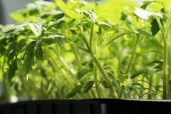 Piantine della primavera in un contenitore Giovane verde sviluppato in un greenhou immagini stock libere da diritti