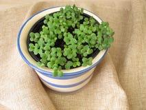 Piantine delle erbe in vaso Immagine Stock