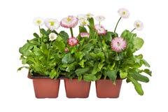 Piantine delle margherite in vasi per la piantatura nel giardino o nel parco in primavera immagine stock