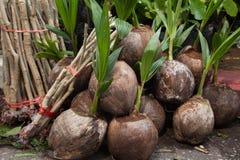 Piantine delle noci di cocco pronte per piantare immagini stock libere da diritti