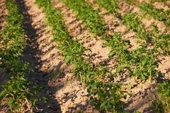 Piantine delle patate organiche che crescono nel countrysid immagini stock