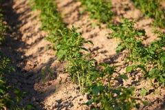 Piantine delle patate organiche che crescono nel countrysid immagine stock