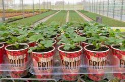 Piantine delle piante di fragola Fotografia Stock