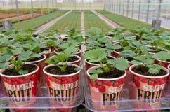 Piantine delle piante di fragola Fotografie Stock Libere da Diritti