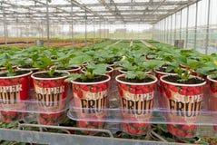 Piantine delle piante di fragola Fotografia Stock Libera da Diritti