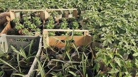 Piantine delle piante differenti stock footage