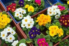 Piantine delle viole in una scatola prima della piantatura nel giardino, comprate sul mercato immagini stock