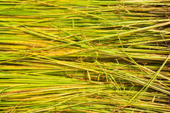 Piantine di agricoltura del riso nelle risaie Fotografia Stock