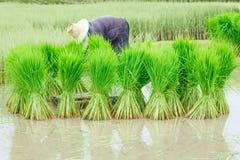 Piantine di agricoltura del riso nelle risaie Fotografia Stock Libera da Diritti